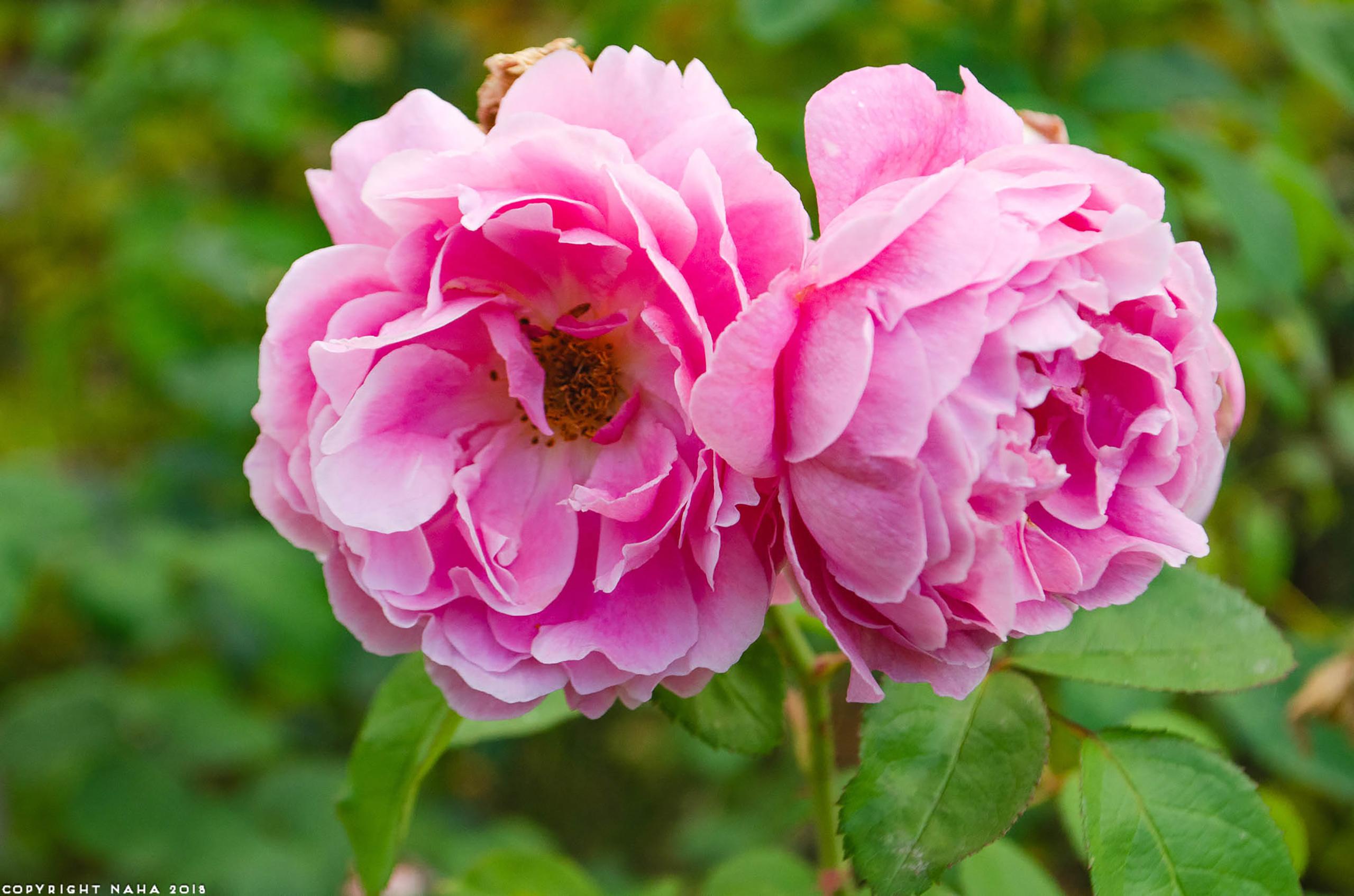 Rose (Rosa spp.)