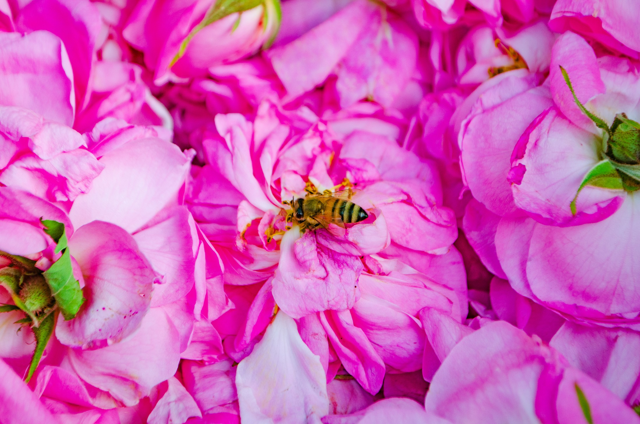 Bee Landing on Rose by Savannah Rose