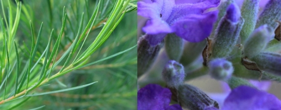 Lavender & Tea Tree Oils Cannot Be Linked To Prepubertal Gynecomastia