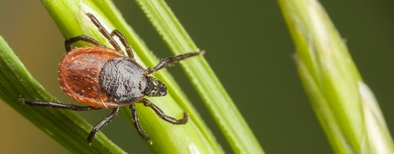 Using Holistic Phyto-Aromatherapy to Support Lyme Disease